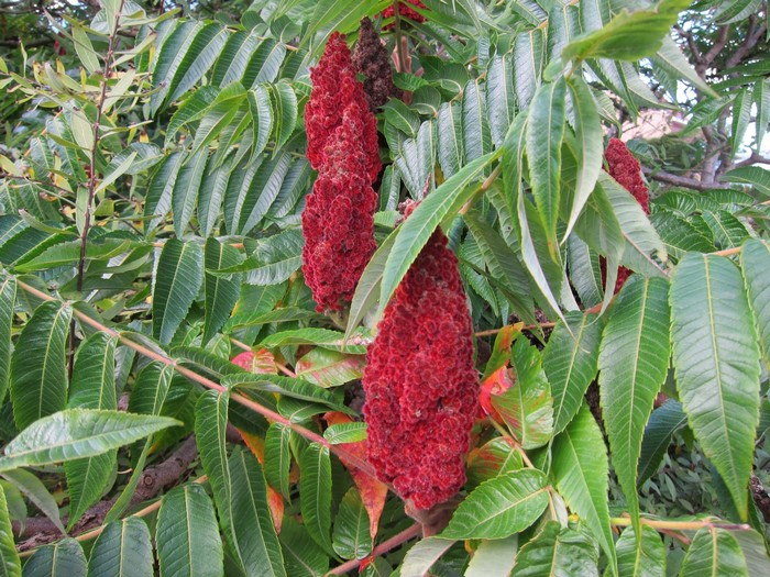 Fluweelboom azijnboom  Rhus typhina