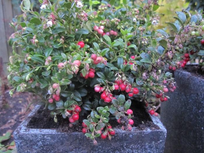 Vossenbes rode bosbes  Vaccinium vitis idaea Miss Cherry
