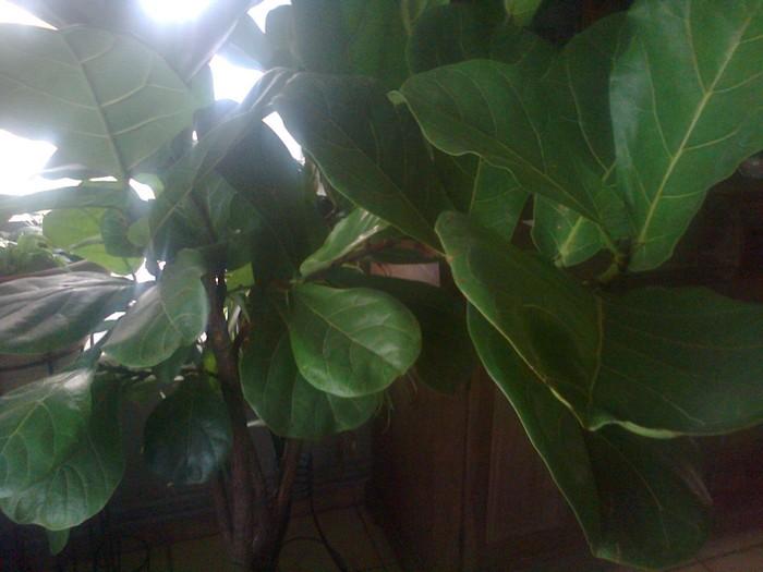 Vioolbladplant tabaksplant  Ficus lyrata