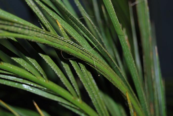 Ziekte op palmboom