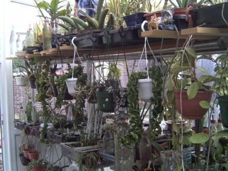 Hoya carnosa krinkle kurl