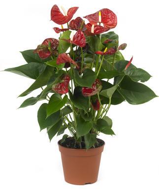 Anthurium andreanum sierra bloeit lange tijd met mooie