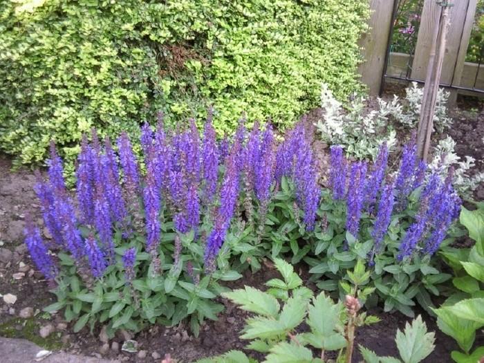 Salie  Salvia nemorosa Sensation Deep Blue
