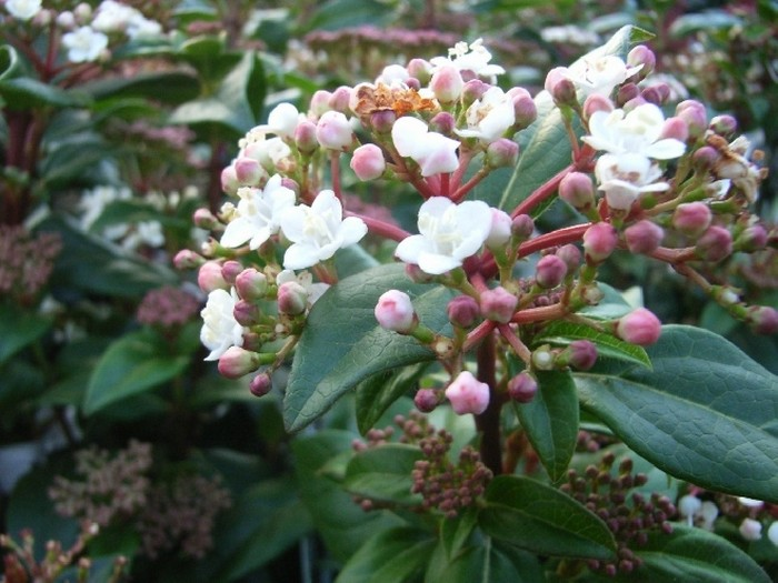 Sneeuwbal  Viburnum tinus Eve Price