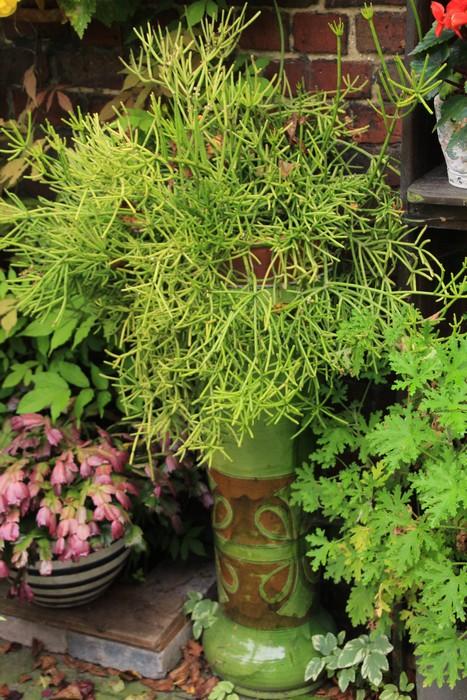 Koraalcactus  Hatiora salicornioides