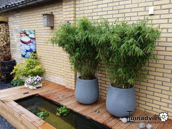 Bamboe  Fargesia murieliae Jumbo  Planten online kopen