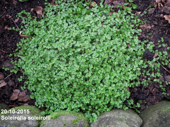 Slaapkamergeluk  Soleirolia soleirolii  Planten online kopen