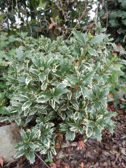 Bonte schijnhulst  Osmanthus heterophyllus Variegatus