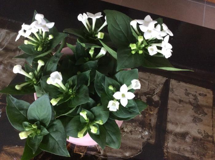 Hoe heet dit plantje met witte bloemen