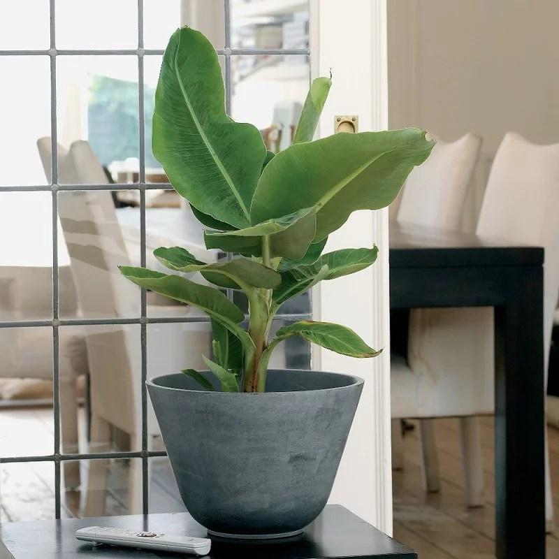 Bananenplant kopen  Tuincentrumnl