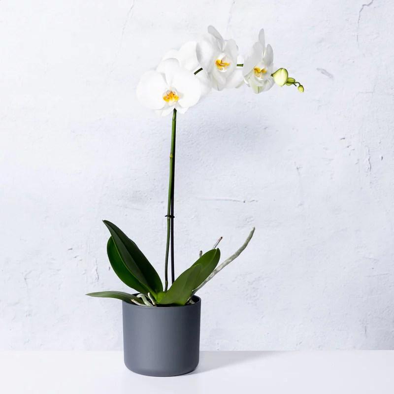 Orchidee wit Phalaenopsis kopen  Tuincentrumnl
