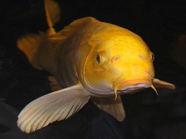 Vijver en Aquariumvissen Kopen Lokeren  Artikelaanbod