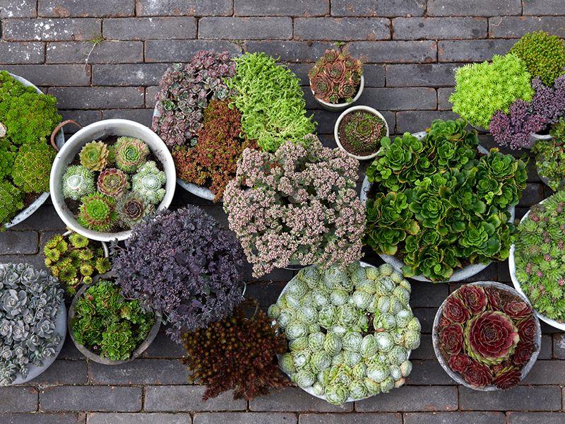 Groene Dakbedekkers tuinplanten van de maand oktober 2019