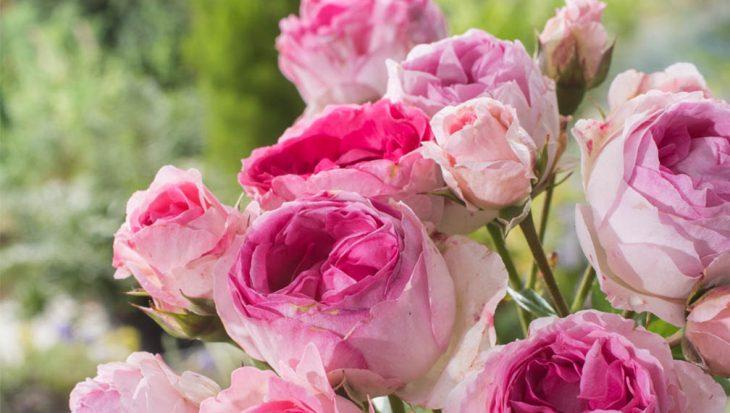 Geurende rozen  Tuinen