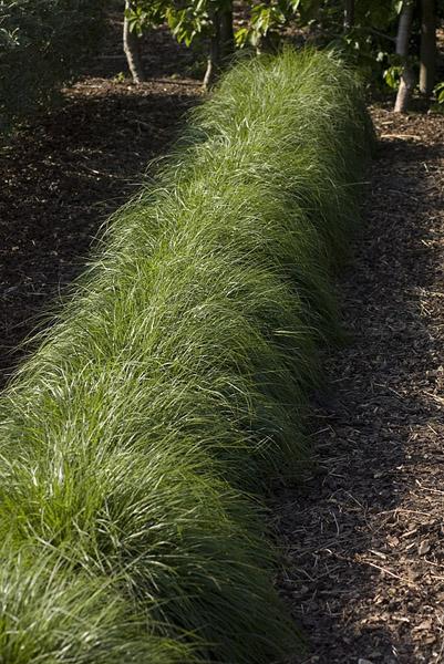 Grassen  Bamboes  TUINHULP