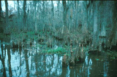 The Cypress Tupelo Swamp
