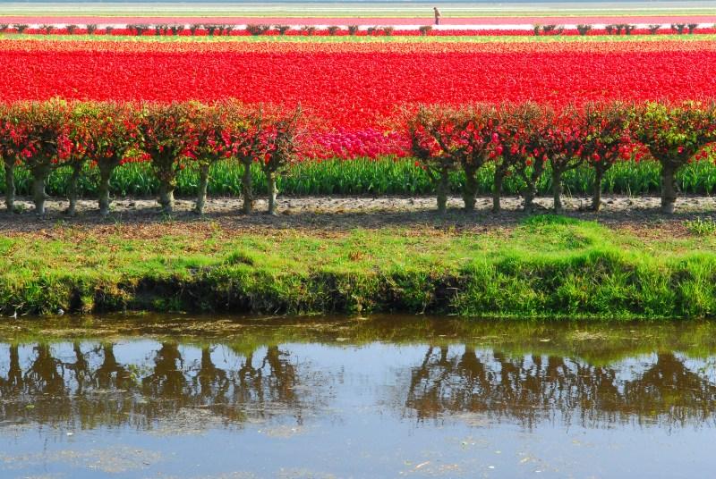 Dutch Tulip fields amsterdam keukenhof