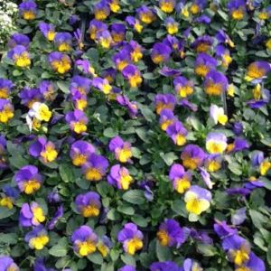 seedlings-viola
