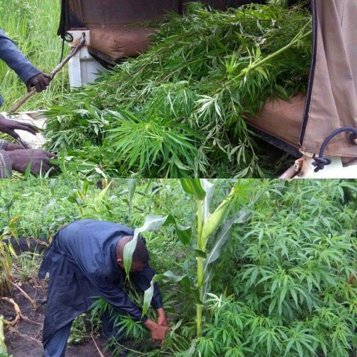 DEC Arrests Farmers For Growing 1.1 Tonnes Of Cannabis