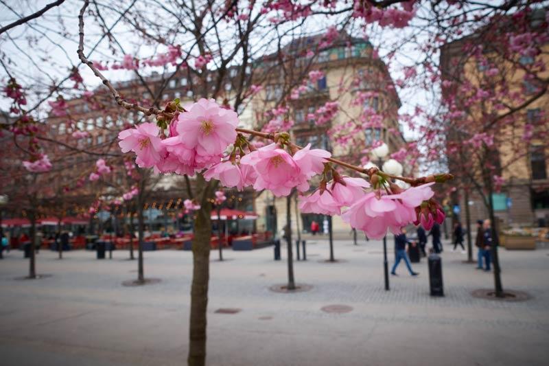 ストックホルムの桜