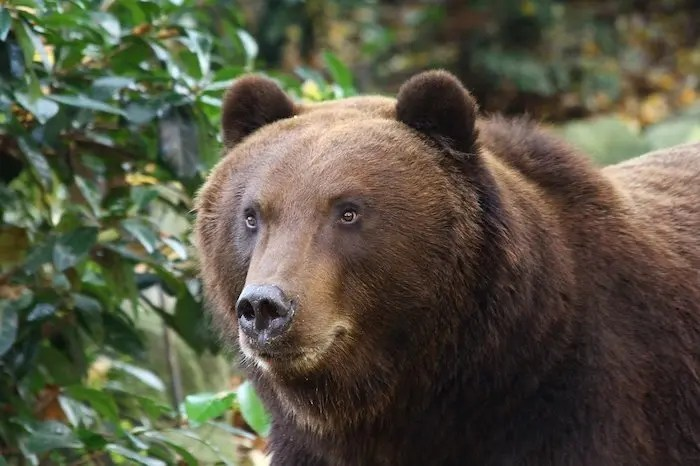 Grizzly Bear at Zoo Montana