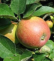 sadjarji-jabolko