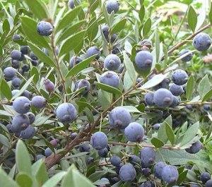 myrtus_communis-fruto