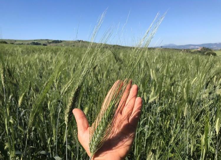 Rotunno , produzione di grani antichi : produzione di cereali artigianali italiana di qualità. Coltivatori di grani antichi dal 1974