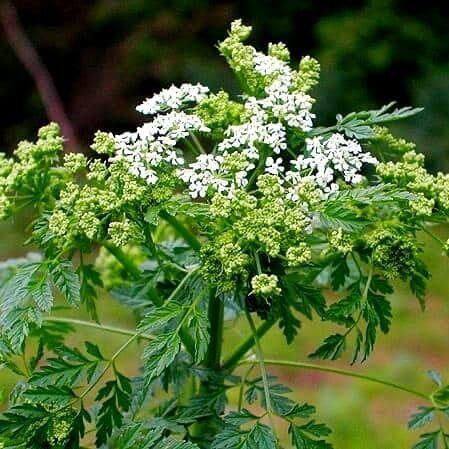 Jedovaté rastlina v Turci