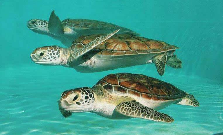 Tortugas Marinas en Xcaret