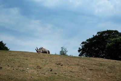 Næsehornet Basira er én af de store attraktioner i Ree Park Safari.