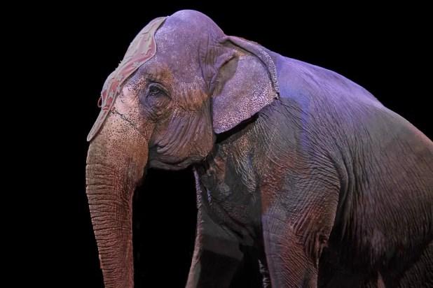 Måske får Cirkus Arenas tre elefanter lov at nyde deres otium på Lolland. Knuthenborg Safaripark har tilbudt at overtage Arenas cirkuselefanter, når de efter denne sæson sendes på pension. (Arkivfoto)