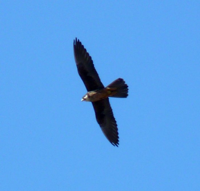 tilos grecia aves