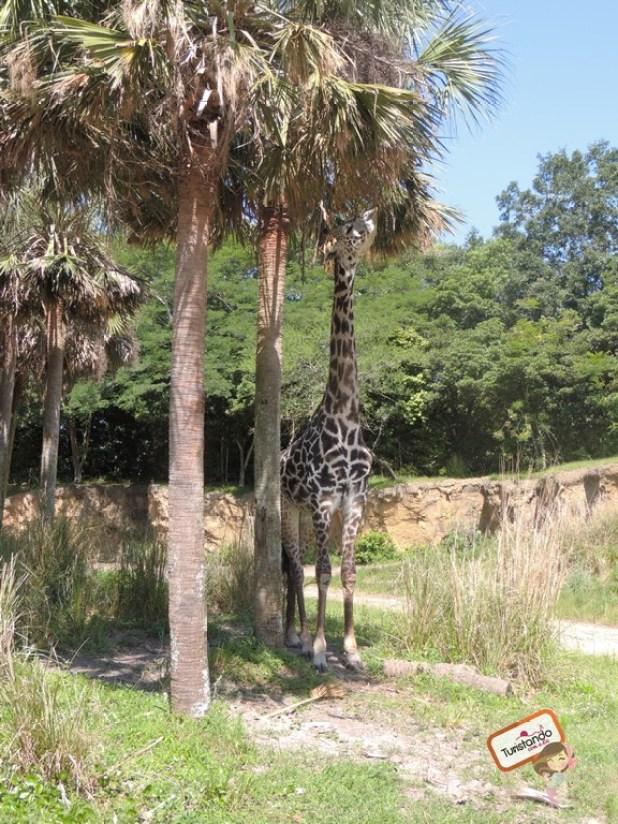 A girafa almoçando.