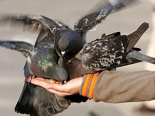 Imagini pentru hranirea porumbeilor