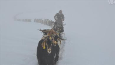 Photo of شتاء تركيا.. الأغنام تشق طريقها إلى الأمان بين الثلوج