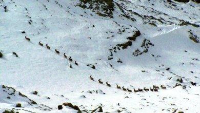 Photo of قطعان الماعز البرّي.. لوحة فنية تزين جبال تركيا