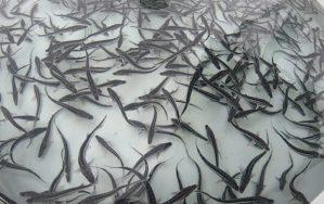 balıq körpələri