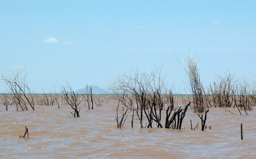 Prosopis dying at the mouth of the delta looking towards Central Island