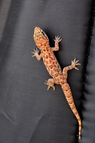 Oh Hello! We found a baby gecko in Tiffany's backpack!