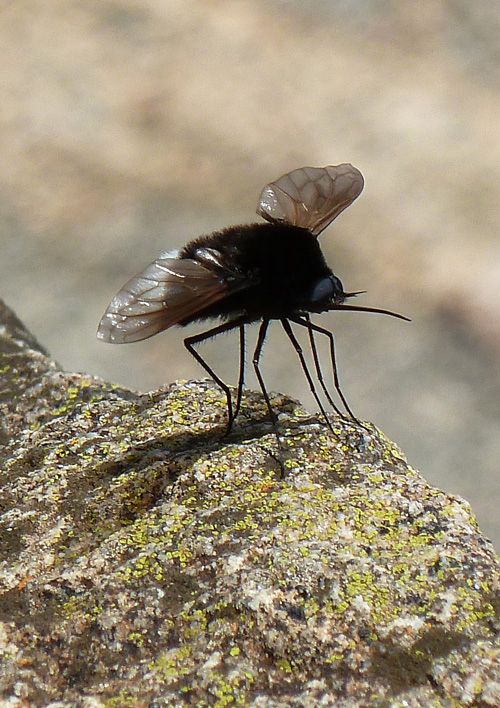 The enigmatic Bee-Fly