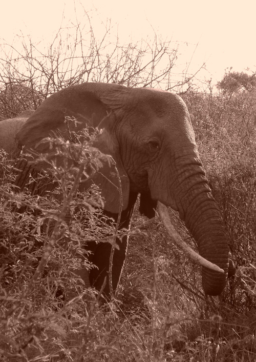 Elephant-sepia-Mpala-LR1