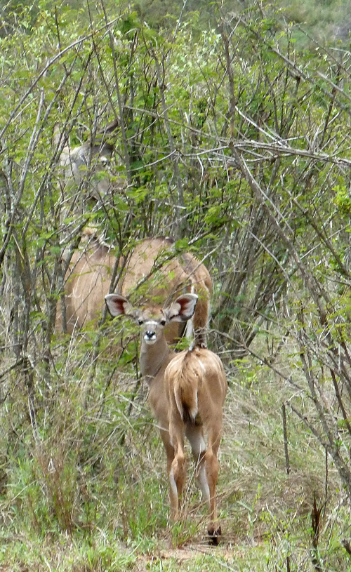 Greater Kudu calf and mother