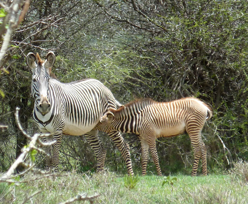 Grevy's Zebra foal and mum