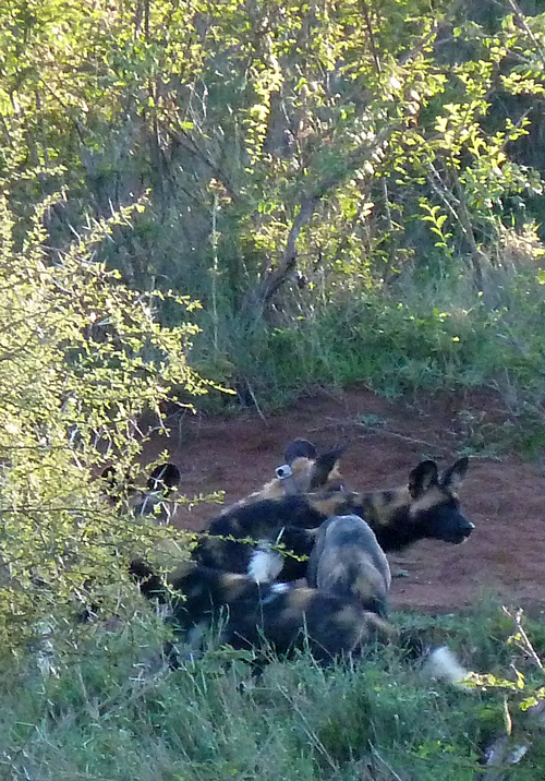 African Wild Dogs!