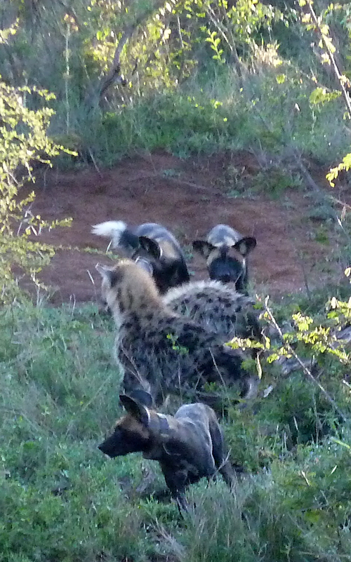 African Wild Dogs confronting the Spotted Hyenas!