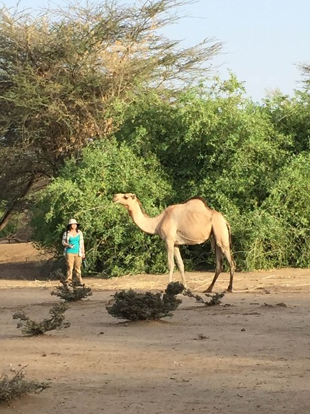Sam is desperately trying to get close enough to a camel to observe flies on it….if only she could catch one to study!