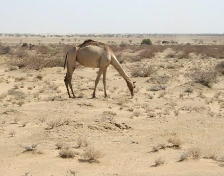 This camel reaches down towards an Indigofera plant.