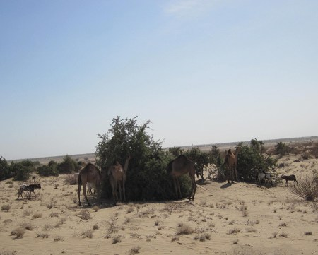 Here, a group of camels and a few goats gather around a Balanites tree.