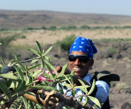 Niguss gets a closer look at the specialized leaves on the desert rose tree.